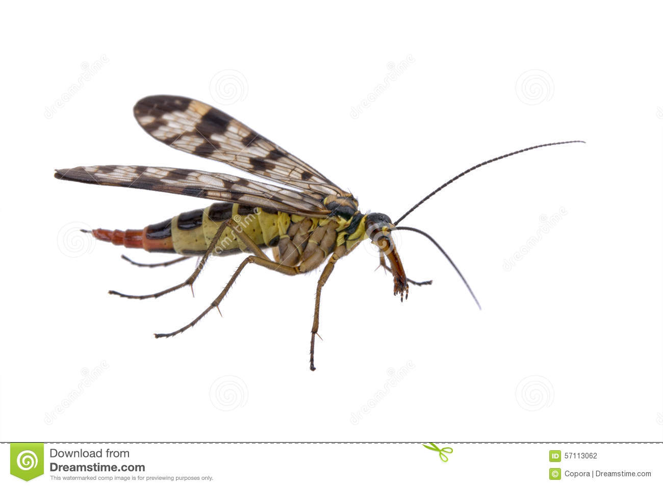 Scorpion Fly From Family Panorpidae On White Background Stock.