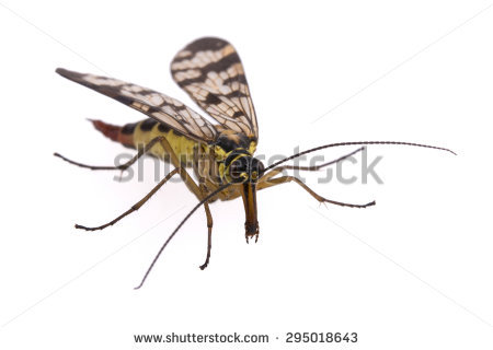 Panorpidae Stock Photos, Images, & Pictures.