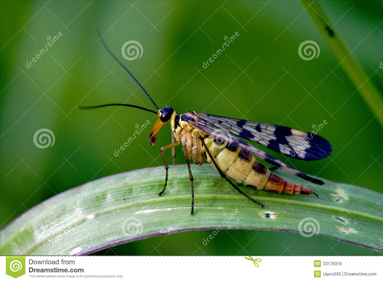 Scorpion Fly Mecoptera Panorpa Panorpidae Royalty Free Stock Photo.