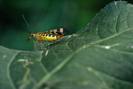 Animal Scorpion Fly Stock Photos Images. 527 Royalty Free Animal.