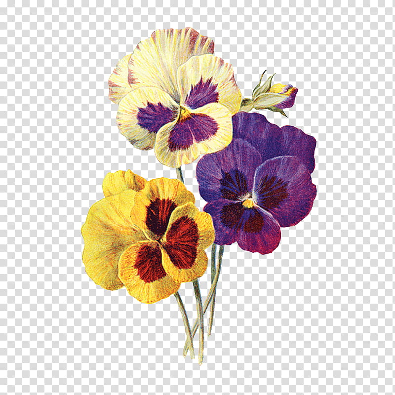 Violet, yellow and white pansies transparent background PNG.