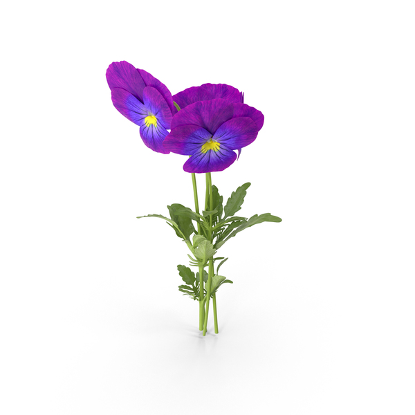 Pansies PNG Images & PSDs for Download.