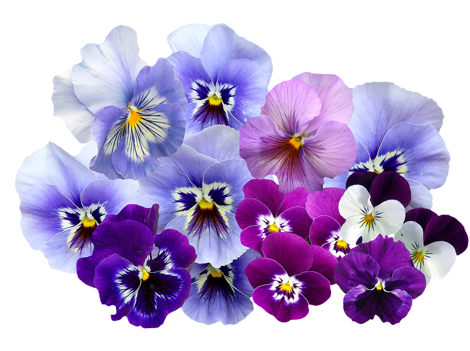 Free photo Pansy Violet Flowers Nature Png Isolated.