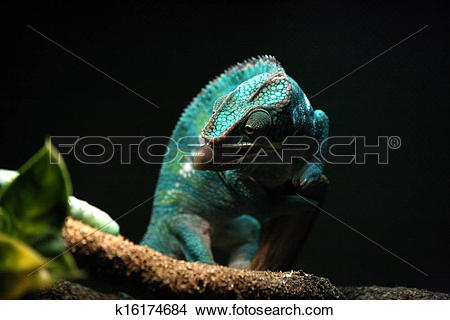 Drawings of Nosy Be Panther Chameleon k16174684.