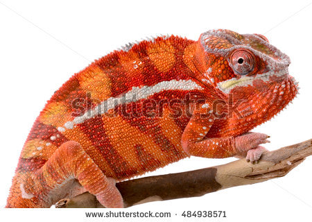 Panther Chameleon Stock Images, Royalty.