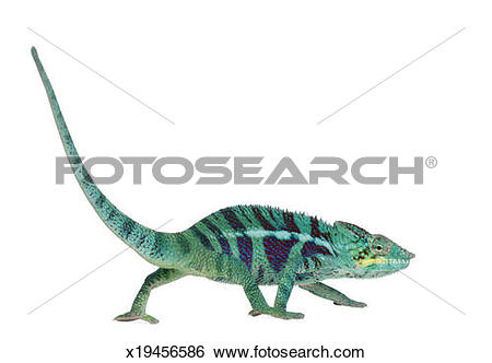 Stock Images of Panther Chameleon Nosy Be x19456586.