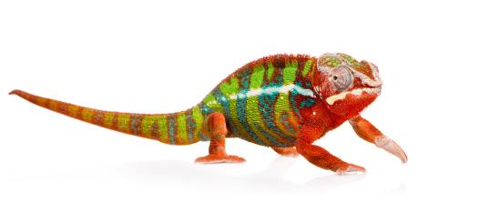 Oltre 1000 idee su Chameleons For Sale su Pinterest.