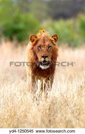 Stock Image of African lion Panthera leo.