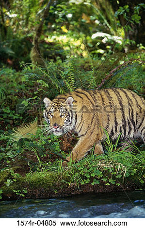 Stock Image of Indochinese Tiger in the forest (Panthera tigris.