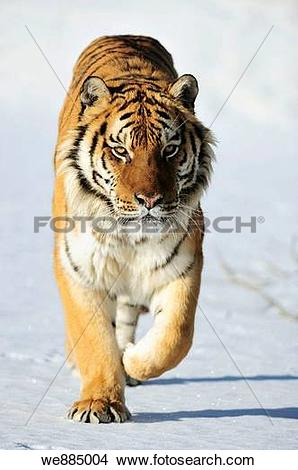 Stock Photo of Siberian tiger Panthera tigris altaica.