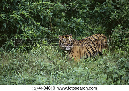 Stock Photography of Sumatran Tiger standing in the forest.