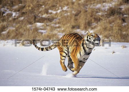 Stock Photo of Siberian Tiger running in the snow (Panthera tigris.