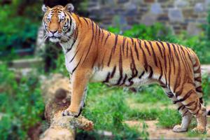 Bengal Tiger Panthera Tigris Tigris Clip Art Download.