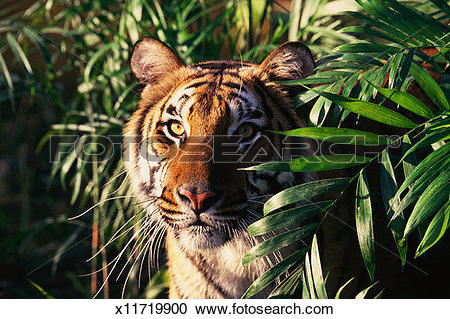 Stock Photography of Bengal Tiger (Panthera tigris tigris) in.