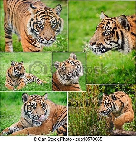 Stock Image of Collection of images of Sumatran Tiger Panthera.