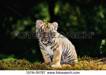 Picture of Indochinese Tiger cub sitting in the forest (Panthera.