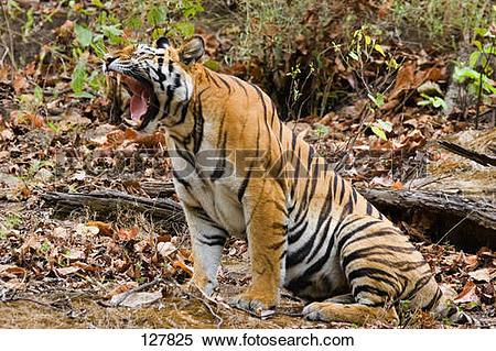 Stock Image of Bengal tiger.