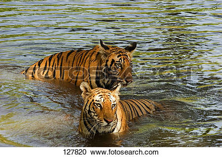 Stock Photography of two Bengal tigers.