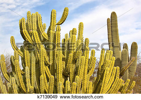 Stock Photograph of Organ Pipe Cactus Stenocereus Thurberi.
