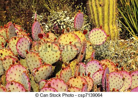 Stock Photo of Purple Prickly Pear Cactus Opuntia Santa.