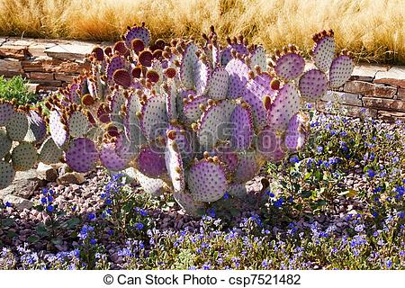 Stock Photo of Purple Cactus Blue Flowers Desert Botanical Garden.