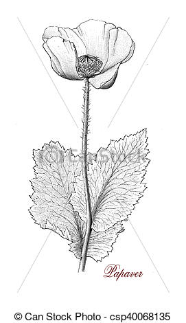 Drawings of Papaver, botanical vintage engraving.