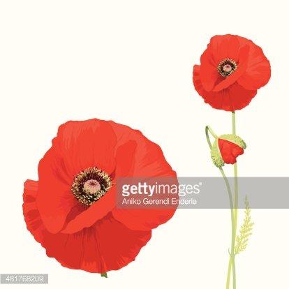 Red Poppy (papaver Rhoeas) premium clipart.