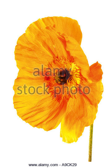 Papaver Cut Out Stock Images & Pictures.