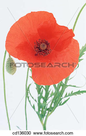 Stock Photography of Flanders Poppy (Papaver rhoeas) cd136030.