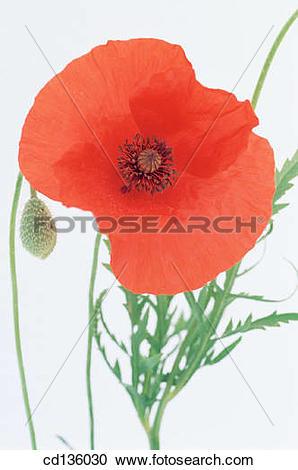 Stock Photography of Flanders Poppy (Papaver rhoeas) cd136030.