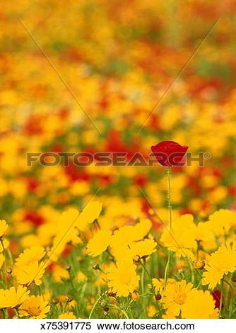 Stock Image of Poppy (Papaveraceae sp.) amongst yellow daisies.