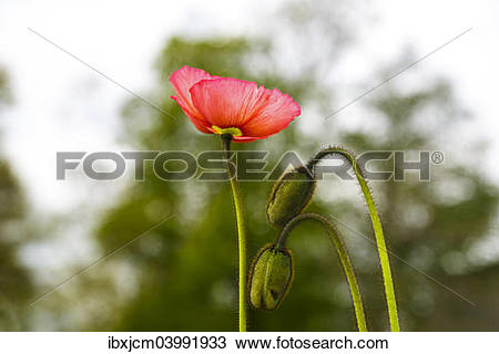 Stock Photo of Poppy (Papaveraceae) ibxjcm03991933.