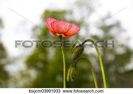 Stock Photo of Poppy (Papaveraceae) ibxjcm03991933.