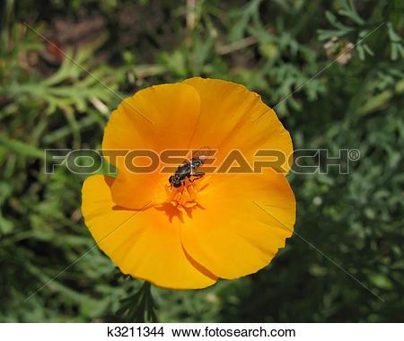 Stock Photo of Eschscholzia californica or California poppy.