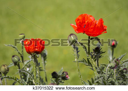 Stock Photo of Red poppies Papaveraceae k37015322.