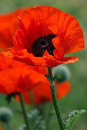 1000+ ideas about Image Coquelicot on Pinterest.