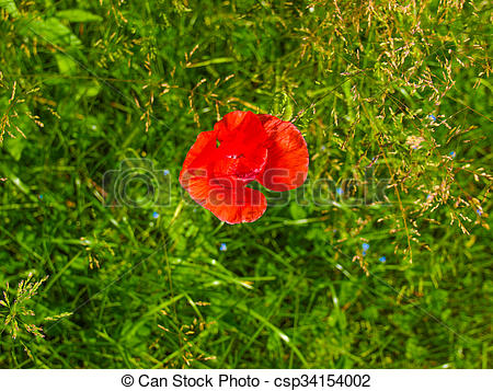 Stock Photography of Papaver flower genus of the poppy family.