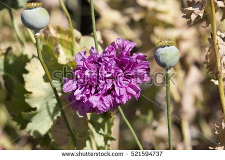 Papaveraceae Stock Photos, Royalty.