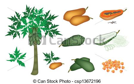 Papaya tree Stock Illustrations. 145 Papaya tree clip art images.