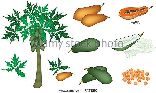 Unripe Papaya Stock Photos & Unripe Papaya Stock Images.