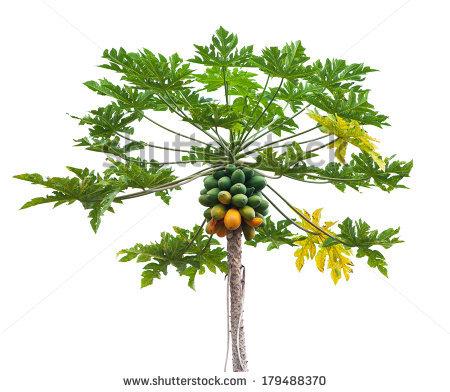 Papaya Tree Stock Images, Royalty.