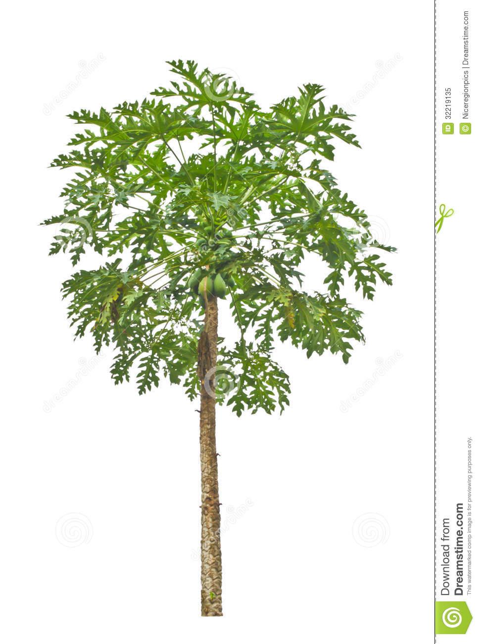 Papaya Tree. Royalty Free Stock Photo.