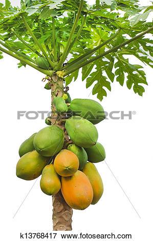 Picture of fresh papaya tree isolated on white background.