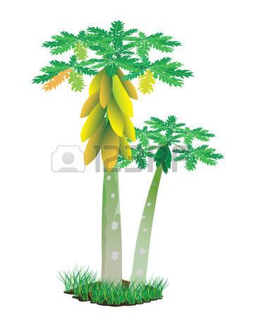 158 Papaya Tree Stock Illustrations, Cliparts And Royalty Free.