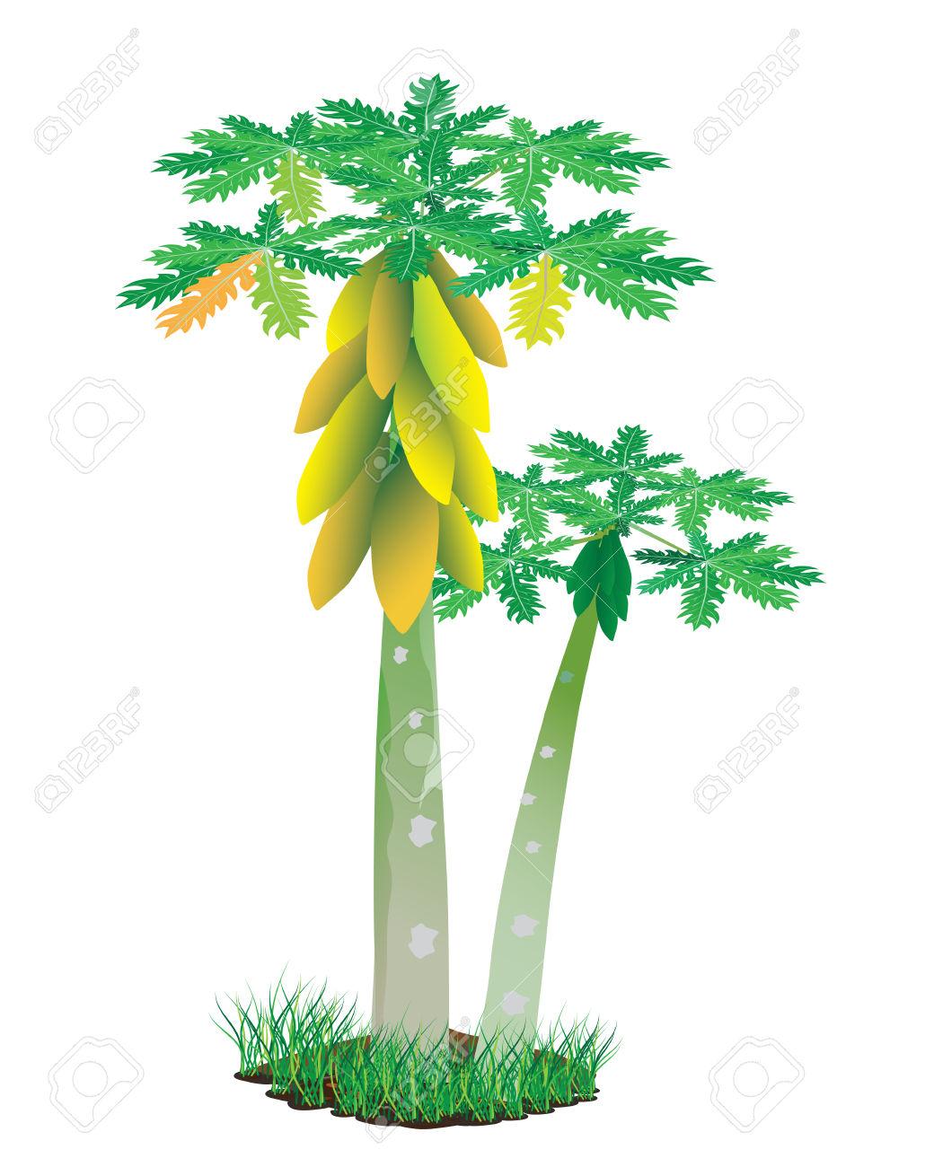 Papaya tree clipart.