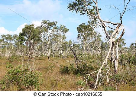 Stock Images of ( Paper Bark Tree) in eastern of thailand.