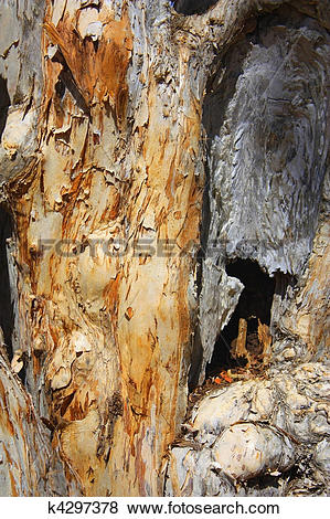 Pictures of paper bark tree k4297378.