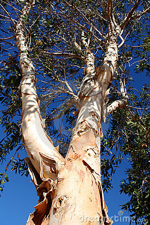 Paperbark Tree Stock Photos, Images, & Pictures.