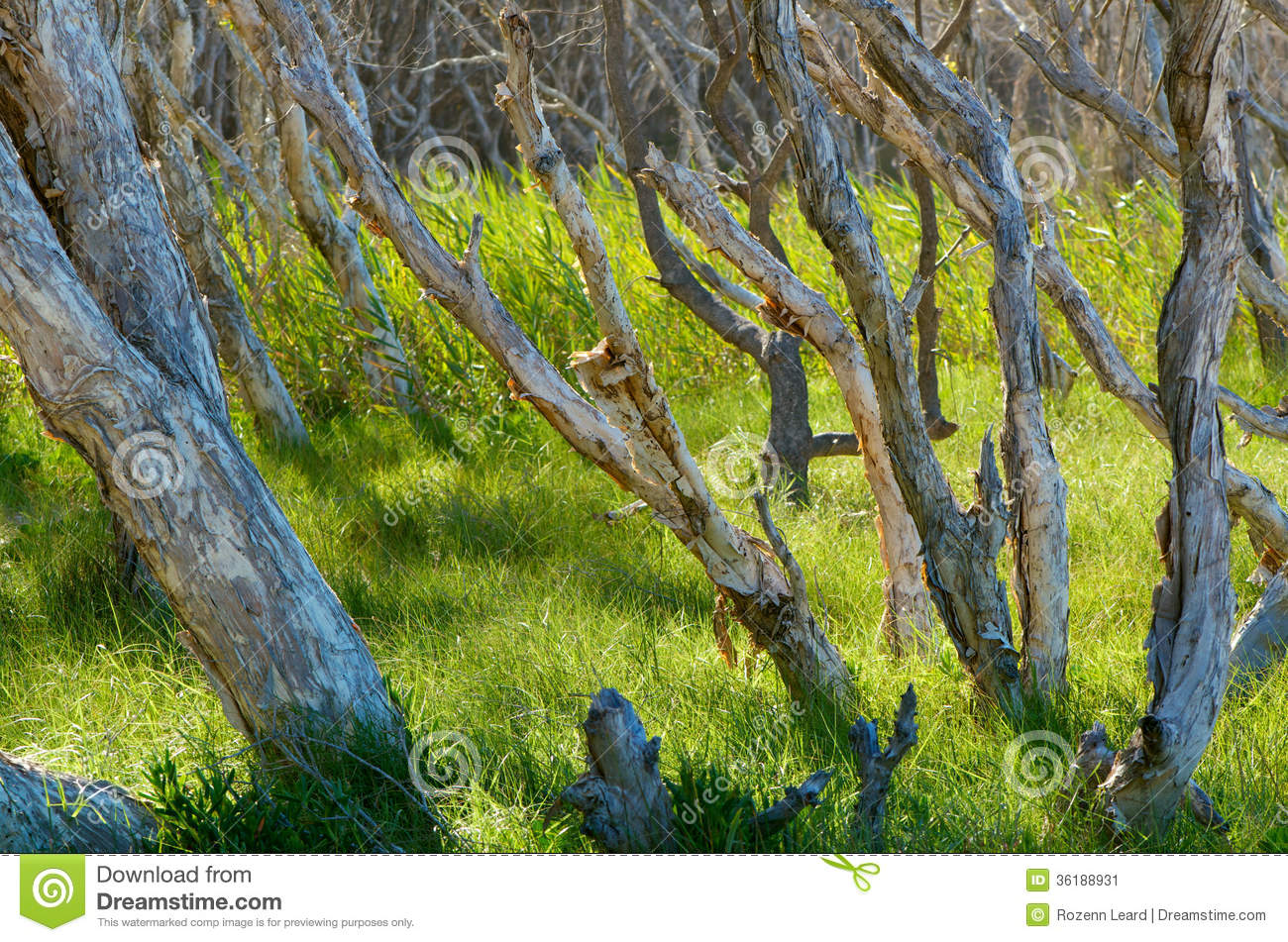 Paperbark Trees Stock Image.