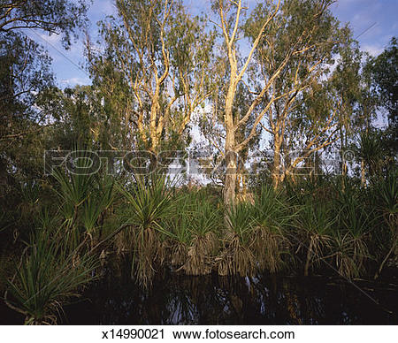 Stock Photography of Paperbark Trees in Pentecost River, Kimberley.